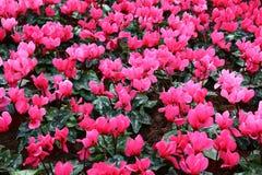 Różowi tulipanów kwiaty Fotografia Royalty Free