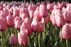 różowi tulipany Zdjęcia Royalty Free