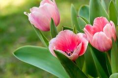Różowi tulipany II obrazy royalty free