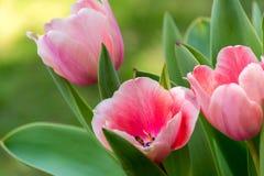 Różowi tulipany III fotografia stock