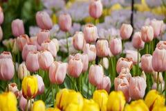 Różowi tulipany na flowerbed Obrazy Stock