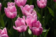Różowi tulipany na naturalnym kwiecistym tle Obraz Royalty Free