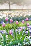 Różowi tulipany, ogrodowy Stromovka w Praga Obraz Stock