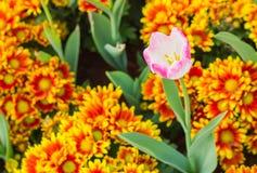 Różowi tulipany w ogródzie Zdjęcie Royalty Free