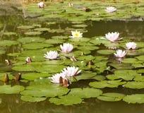 Różowi waterlilies na wodzie Obraz Royalty Free