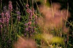 Różowi Wildflowers z Zamazanym kwiatu przedpolem Fotografia Royalty Free
