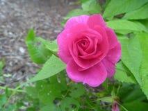- różowy Fotografia Royalty Free