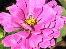 - różowy Zdjęcia Stock