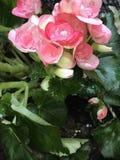 - różowy obraz royalty free