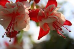 różowy Zdjęcia Stock