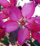 - różowy Zdjęcie Stock