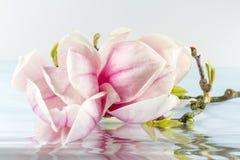 Różowy abloom magnoliowy kwiat Obrazy Stock