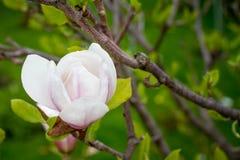 Różowy abloom magnoliowy kwiat Fotografia Stock