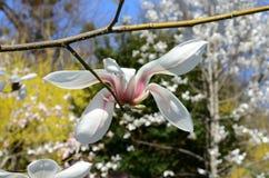 Różowy abloom magnoliowy kwiat Obraz Royalty Free