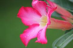 Różowy Adenium kwitnie z kolorowymi kwiatami obrazy royalty free
