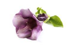 Różowy Allamanda Zdjęcia Royalty Free