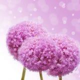 Różowy Allium Obraz Stock