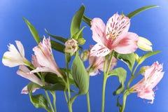 Różowy alstroemeria Zdjęcia Stock