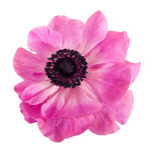 Różowy Anemonowy kwiat, odosobniony nadmierny biel Obrazy Royalty Free