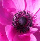 różowy anenome Zdjęcie Royalty Free