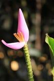 Różowy Bananowy kwiat Obraz Stock
