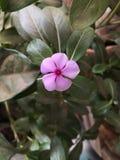 Różowy barwinek Fotografia Royalty Free