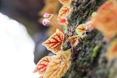 Różowy begonia kwiat w makro- Zdjęcia Stock