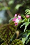 Różowy begonia kwiat w makro- Obraz Stock