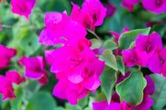 Różowy Bougainville zdjęcie royalty free