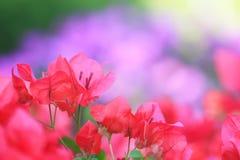 Różowy Bougainvillea Zdjęcie Stock