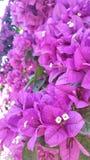 Różowy Bougainvillea Obrazy Stock