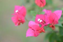 Różowy Bougainvillea Zdjęcia Royalty Free