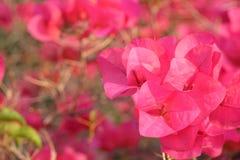 Różowy bougainvillea czerwieni menchii kwiat Zdjęcia Royalty Free