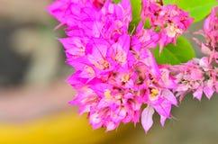 Różowy bougainvillea kwiat Zdjęcie Stock