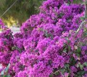 Różowy bougainvillea kwiat Obraz Royalty Free