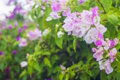 Różowy bougainvillea kwiat na plamy tle zdjęcie royalty free