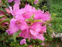 Różowy bougainvillea kwiat Thailand Obrazy Stock