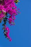 Różowy bougainvillea kwitnie przeciw niebieskiemu niebu Zdjęcie Stock