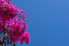 Różowy bougainvillea kwitnie przeciw niebieskiemu niebu Obraz Royalty Free