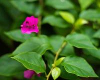 Różowy bougainvillea na zamazanym tle obrazy stock