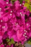 Różowy bougainvillea, sharm el sheikh, Egipt Obrazy Royalty Free