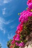 Różowy bougainvillea, sharm el sheikh, Egipt Obraz Stock
