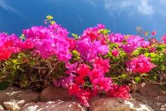 Różowy bougainvillea, sharm el sheikh, Egipt Zdjęcia Stock