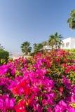 Różowy bougainvillea, sharm el sheikh, Egipt Zdjęcie Royalty Free