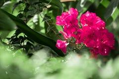 Różowy Bougainvillea w garden Obraz Royalty Free