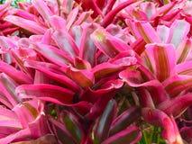 Różowy bromeliad Zdjęcia Stock