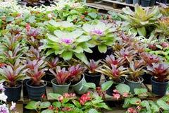 Różowy Bromeliads Zdjęcie Stock
