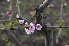 Różowy brzoskwinia kwiat Fotografia Royalty Free
