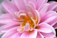Różowy chryzantema kwiat Zdjęcia Stock
