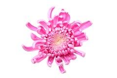 Różowy chryzantema kwiat zdjęcie stock